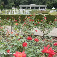 神代植物園、秋薔薇。