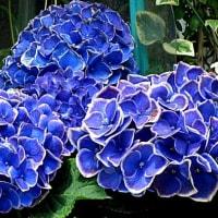 紫陽花(あじさい)という花