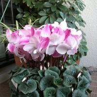 今年のシクラメンの花