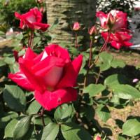 薔薇の花盛り