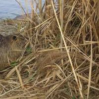 ヌートリアの好む草