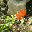 ♪‥夏に咲く「白い妖精」
