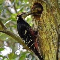 オーストンオオアカゲラ♂:雛に餌を与える