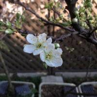 プラムが咲き始めました。
