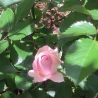 ピンクの薔薇〜♪