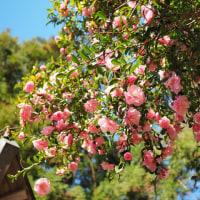 我が家の庭に咲く、さざんか