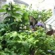 大きな黒アゲハと庭の花、お客様へのハイビスカスのお渡し、自宅にもお客様❗