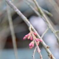 兼六園菊桜 花芽が紅く3.24