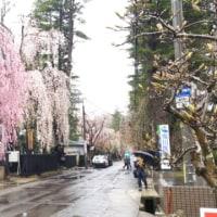 雨の武家屋敷と枝垂れ桜