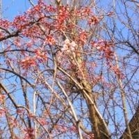 西の丸庭園前の枝垂れ桜