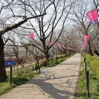 桜祭り準備中の権現堂へぶらり