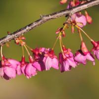 Vol.2014   日南ではもう桜が咲き始めました。 (Photo No.14001)