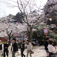 一昨日、花見に行ってきました。極楽寺 打吹公園