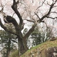 沼田城趾公園のさくら  4/17誕生花・オステオスペルマム