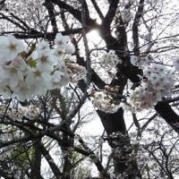 桜が満開になりましたね
