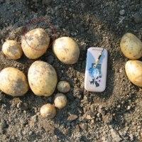 ジャガイモの収穫(十勝こがね)