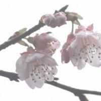 #桜前線2017 秋名 自然観察の森 本茶峠三叉路