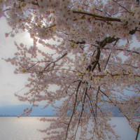 海津大崎の桜 14