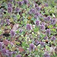 1802   地を這える小草の小花春の雨