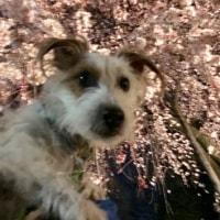 今年も近所のお寺のしだれ桜がキレイに咲きました