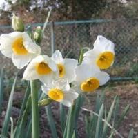 厳寒に咲くスイセンの花