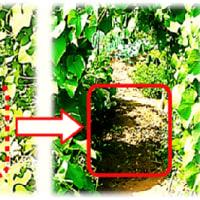 落花生の 収穫 -2