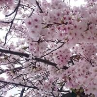 桜満開ですね!