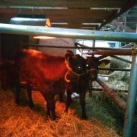ヒーターの下の子牛