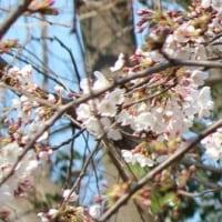 東京都千代田区五番町の外堀にあるソメイヨシノの桜並木は、一分咲きから二分咲きです