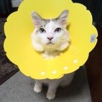 まっ黄っ黄のエリザベスカラー