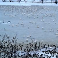 白鳥の湖も休業