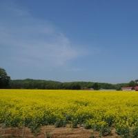 菜の花畑(1)