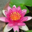 睡蓮の花、2つ目