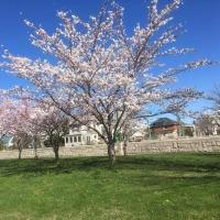 桜は咲いたが又寒く / Ree malvarme kvankam ĉerizo floris