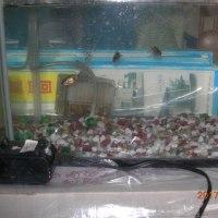 金魚の飼育