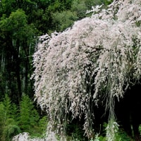 シダレサクラは、なごりのサクラ(高知県仁淀川町 2017年4月9日)