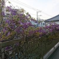 藤のお花見の巻