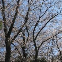 2017年4月2日 二分咲き桜の下で…♪