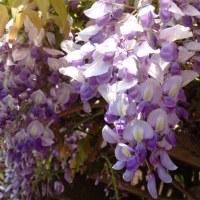 散歩道で咲くそっくりさん(2)