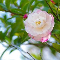 [#3448] 11月に撮った花のマクロ写真(3)サザンカ(優美)