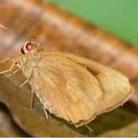2016  沖縄探訪記 バナナセセリ幼虫