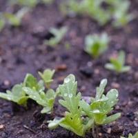 菜園の野菜達も順調に育ってますよ・・・