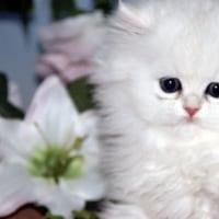 子猫/ペルシャ展示・販売/ペットショップ/岩手県/宮古市/遠野市