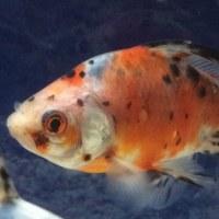 明月記に「赤気」の記述からオーロラ金魚