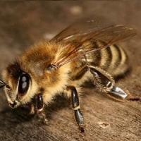 みつばち及び養蜂について