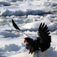 流氷上のオオワシ
