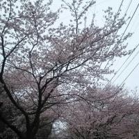 八面山  夜桜お八