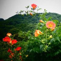 『季節の花』 凌霄花