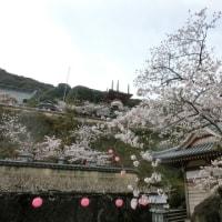 日和佐の桜