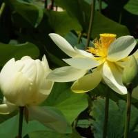 蓮の開花が進んでいます・・・・・(郷土の森公園)